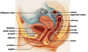 female_reproductive_system_lateral