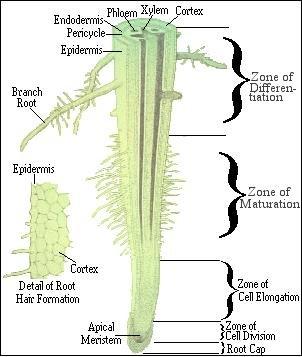 Organ Tumbuhan Blog Biologi