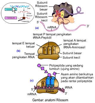 anatomi-ribosom