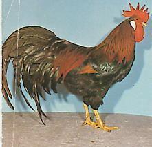 ayam-creeper