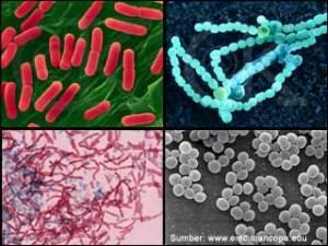 Macam-macam bentuk bakteri