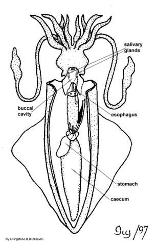 cephalopoda