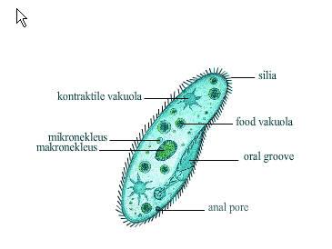 ciri-protozoa