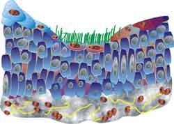 epitel-silindris
