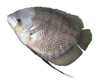 ikan-gurami