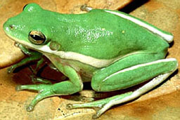 katak hijau