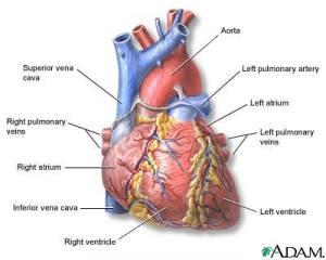 jantung-manusia