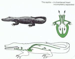 jantung reptil