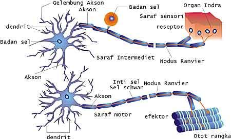 jaringan-saraf