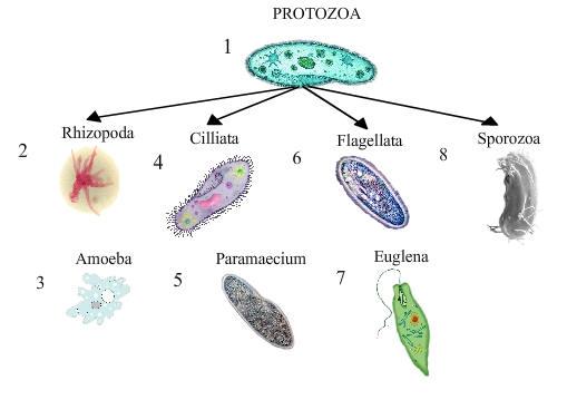 klasifikasi-protozoa