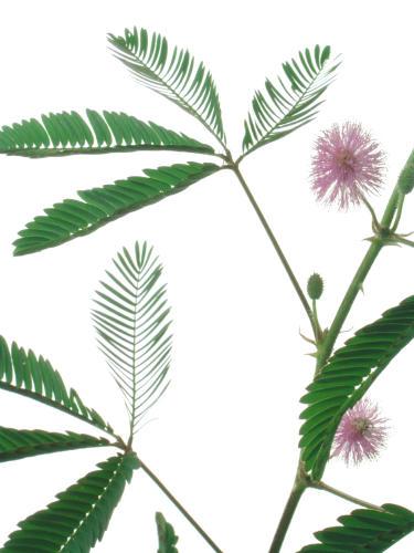 mimosa_pudica