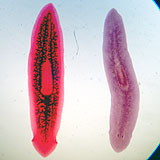 platyhelm_turbellaria_dugesia