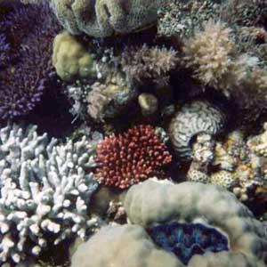 terumbu-karang