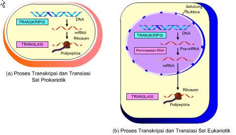 Kode genetik guru ngeblog transkripsi dan translasi ccuart Image collections