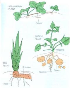 reproduksi-vegetatif