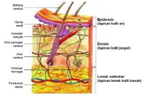 struktur-kulit